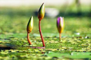 Geschlossene Seerosen auf Teich